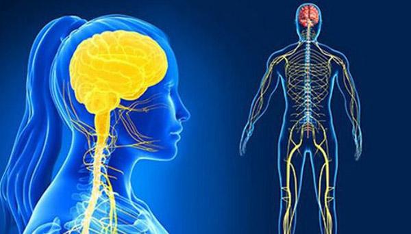 tác dụng của nhân sâm đối với hệ thần kinh