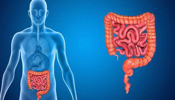 tác dụng của nhân sâm đối vơi hệ tiêu hóa và đường ruột