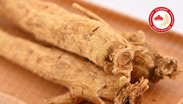 tìm hiểu về saponin trong nhân sâm canada