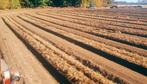 cánh đồng nhân sâm đang thu hoạch tại ontario