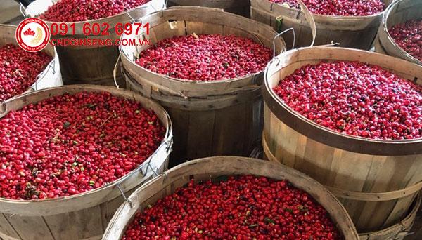 thu hoạch hạt sâm chuẩn bị cho mùa gieo trồng mới