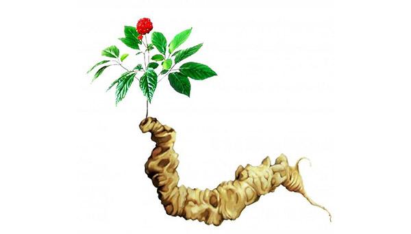 giới thiệu về cây sâm ngọc linh